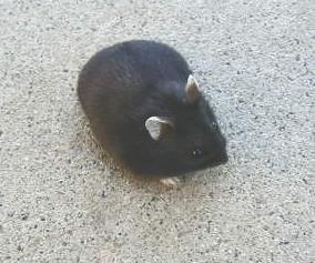 Black Dwarf Hamster
