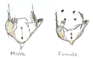 Male and Female Diagram