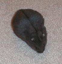Pregnant black campbell