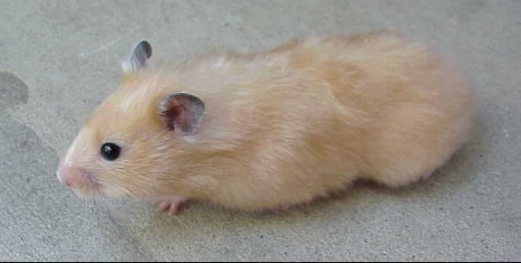 Long Haired Hamster Colors 87